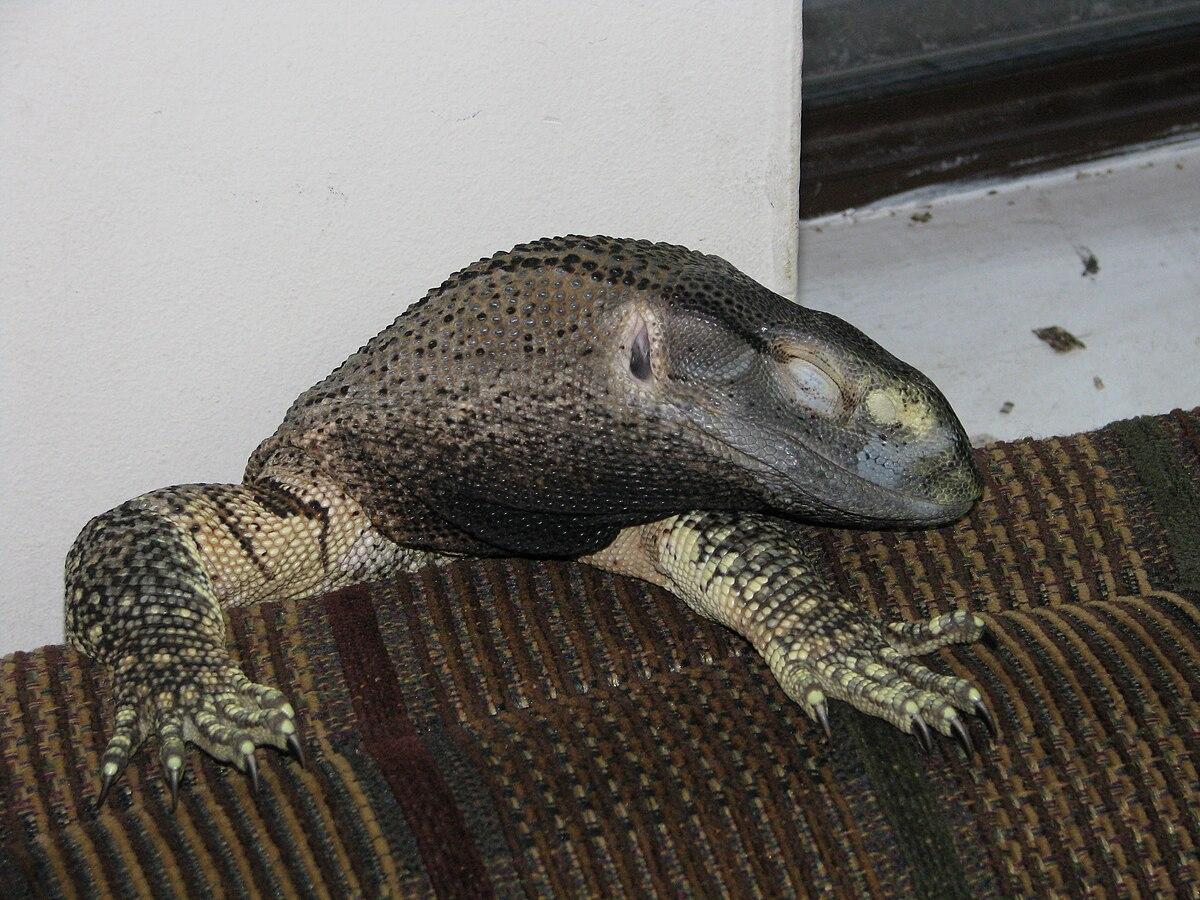 Black-throated monitor - Wikipedia