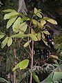 Theobroma cacao20140104 011.jpg