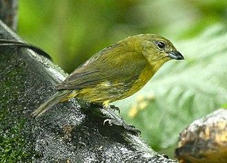 Thick-billed euphonia - Female - Isador Ristorant - Los Bancos, Ecuador
