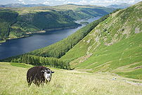 :en:Thirleme - Lake District - England with Herdwick sheep grazing in the foreground