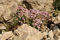 Thlaspi cepeaefolium ssp. rotundifolium PID1402-1.jpg