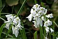 Three-cornered Leek - Allium triquetrum - geograph.org.uk - 161416.jpg