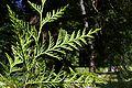 Thuja plicata foliage underside.JPG