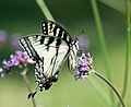 Tiger Swallowtail feeding on Verbena Bonariensis (5910130417).jpg