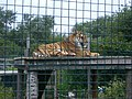 Tiger at Isle of Wight Zoo.jpg