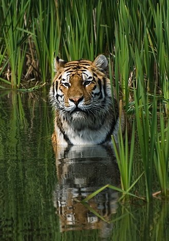 Tiger - Tigers are comfortable in water and frequently bathe