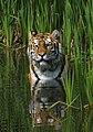 Tigerwater edit2.jpg