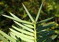 Torreya californica kz3.JPG