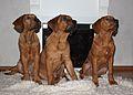 Tosa Inu puppies 4months.JPG