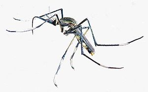Aedes albopictus - Toxorhynchites speciosus larvae (an adult is shown here) feed on the larvae of Aedes albopictus.