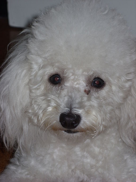 File:Toy poodle1.JPG