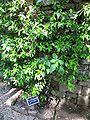 Trachelospermum jasminoides à Limeuil).jpg