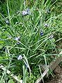 Tradescantia ohiensis1.jpg