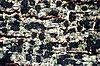 Trapeliopsis flexuosa-2.jpg