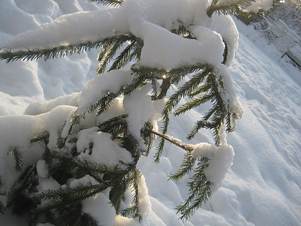 Tree covered in snow.jpg