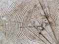 Tree rings - geograph.org.uk - 738518.jpg