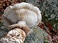 Tricholoma caligatum 684676.jpg