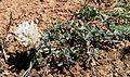 Trifolium macrocephalum - Flickr - brewbooks.jpg