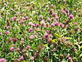 Trifolium pratense Red clover.JPG