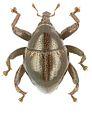 Trigonopterus basalis holotype - ZooKeys-280-001-g014.jpg