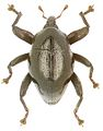 Trigonopterus cyclopensis holotype - ZooKeys-280-001-g021.jpg