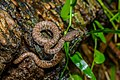 Trimeresurus purpureomaculatus, Mangrove pit viper (juvenile) - Kra Buri District, Ranong (36136556262).jpg