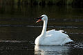 Trumpeter Swan floating on the river 1 of 4.jpg