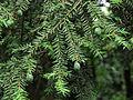 Tsuga canadensis Syrets1.JPG