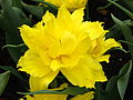 Tulipa (double early yellow cultivar) 03.JPG