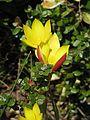 Tulipa clusiana Tubergen Gem - Flickr - peganum (1).jpg