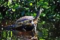 TurtleVentanilla.JPG