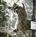 Tvättbjörn i Furuvik 1955.jpg