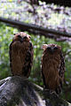 Two Buffy Fish Owl.jpg