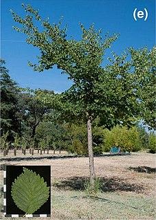 <i>Ulmus minor</i> Dehesa de Amaniel Elm cultivar