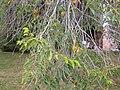 Ulmus pumila (5107226091).jpg