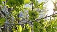 Ulmus pumila with green fruits.jpg