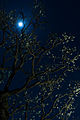 Ume blossom under the moon (13127566565).jpg
