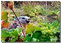 Un saluto dalla marmotta - panoramio.jpg