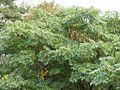 Unbekannter Baum (Krone).jpg