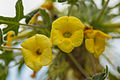 Uncarina roeoesliana - 85.jpg