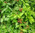 Unidentified berries, possibly in the Rubus genus.jpg