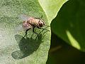 Unidentified fly, Sambisari Temple, Yogyakarta, 2014-09-28 01.jpg