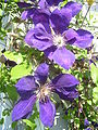 Unknown Purple Garden Flower1.jpg