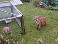 Urban fox 379.jpg