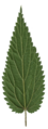 Urtica scanned leaf rear side.png