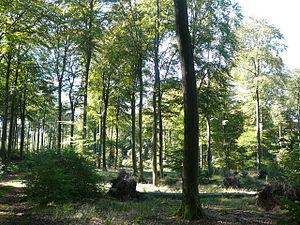"""Palatinate Forest-North Vosges Biosphere Reserve - Kernzone """"Quellgebiet der Wieslauter"""": Urwaldartige Buchenbestände am Westhang des Weißenbergs"""