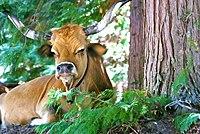Vaca descansada (4863190558).jpg