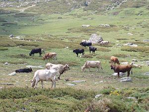 Capitán Mauricio José Troche - Image: Vacas en Peñalara