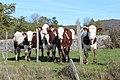Vaches pré entrée ouest Charnod 1.jpg
