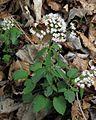 Valeriana tripteris PID1795-1.jpg